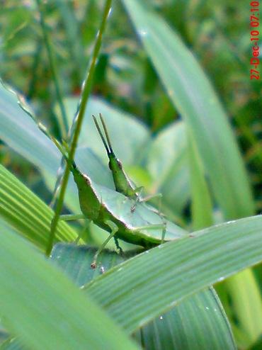 belalang hijau kawin di rumput bambuan 2