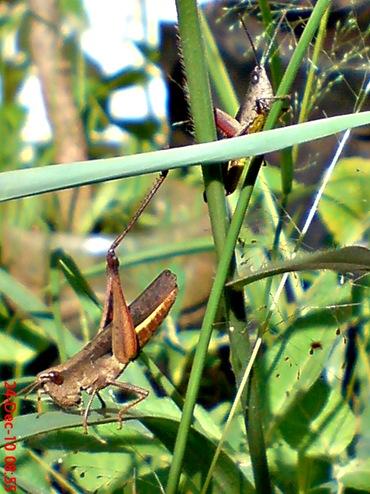 belalang coklat Phlaeoba fumosa 1