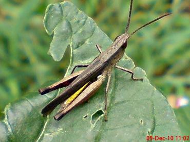 belalang coklat Phlaeoba fumosa 12