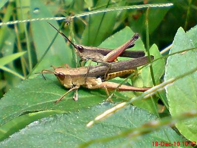 belalang coklat Phlaeoba fumosa kawin 1