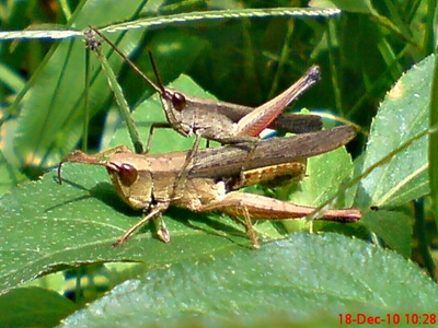 belalang coklat Phlaeoba fumosa kawin 4