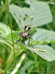lalat makan lalat 3