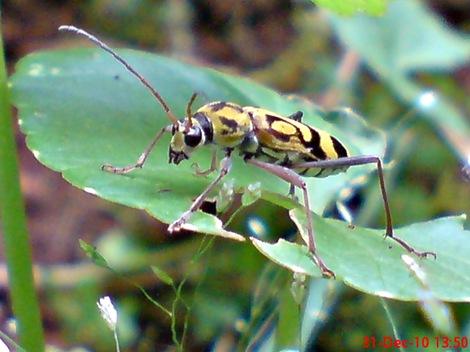 Chlorophorus annularis - Bamboo Longhorn Beetle - Bamboo Tiger 10