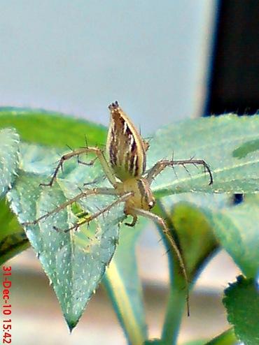 laba-laba nungging 3