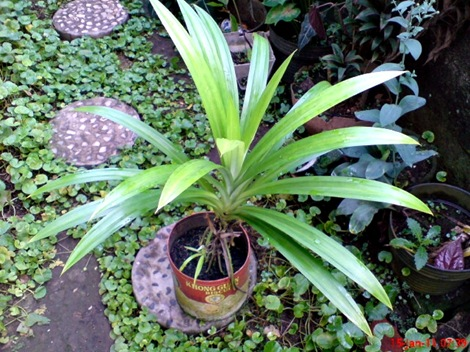 Pandan Wangi - Pandanus amaryllifolius - Fragrant Screwpine Indonesian Screwpine 2