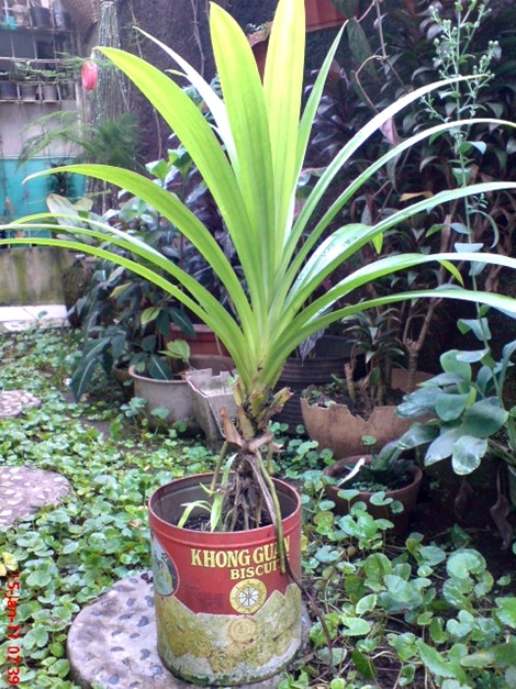 Pandan Wangi - Pandanus amaryllifolius - Fragrant Screwpine Indonesian Screwpine 8