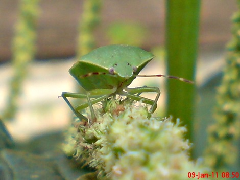 Nezara viridula_green vegetable bug_kepik hijau 08