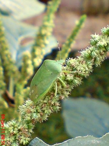[Nezara viridula_green vegetable bug_kepik hijau 09[1].jpg]