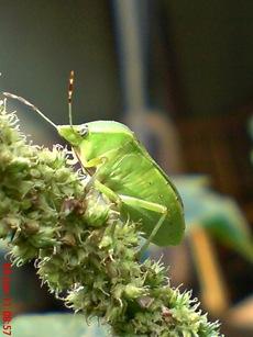 Nezara viridula_green vegetable bug_kepik hijau 12