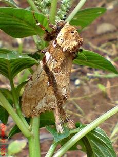 moth Dudusa vethi ngengat 14