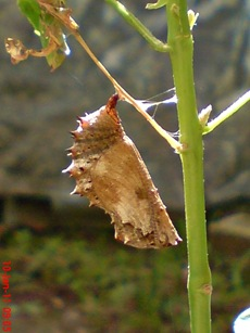 Common Eggfly Butterfly - Hypolimnas bolina - pupa 4