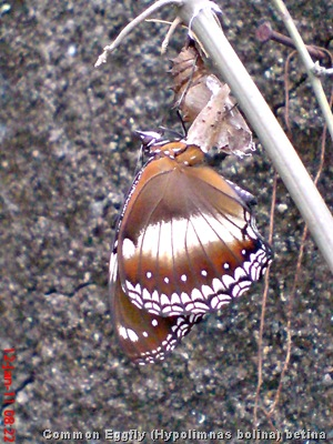 Common Eggfly Butterfly - Hypolimnas bolina - female