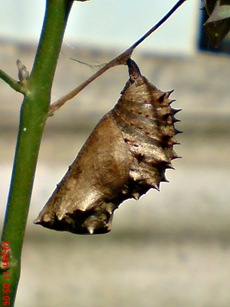 Common Eggfly Butterfly - Hypolimnas bolina - pupa 3