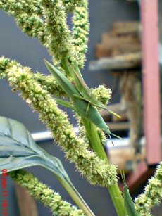 usaha pembajakan perkawinan belalang hijau 08