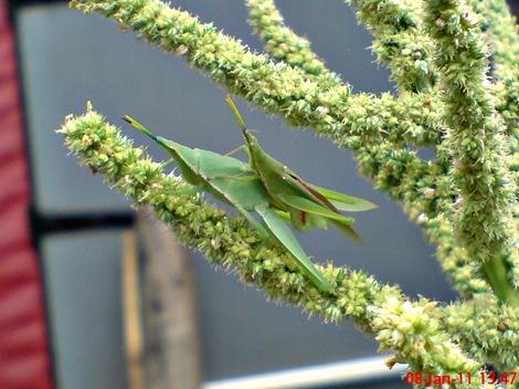 usaha pembajakan perkawinan belalang hijau 04