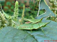 usaha pembajakan perkawinan belalang hijau 2