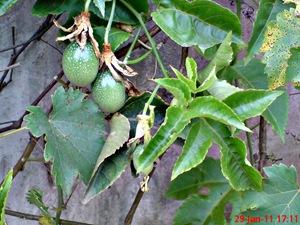 Passiflora edulis-Markisa-Passion Fruit 8