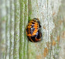 Ladybird_Pupate