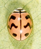 Cheilomenes sexmaculata (Fabricius) 1