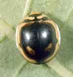 Cheilomenes sexmaculata (Fabricius) 3