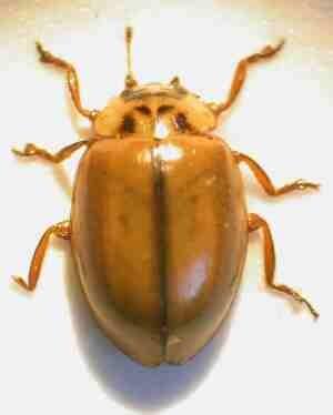Aphidecta obliterata