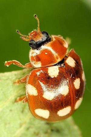 Calvia quatuordecimguttata - Cream Spotted Lady-beetle