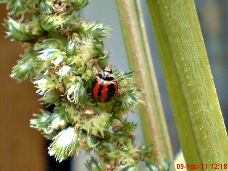 kumbang kepik kumbang koksi 05