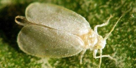 hama lalat putih raksasa _Aleurodicus dugesii_giant whitefly