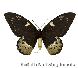Ornithoptera Goliath Female