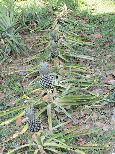 грядка с ананасами