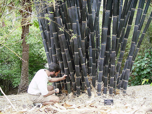 Bambus Schwarz, Bambus Negro