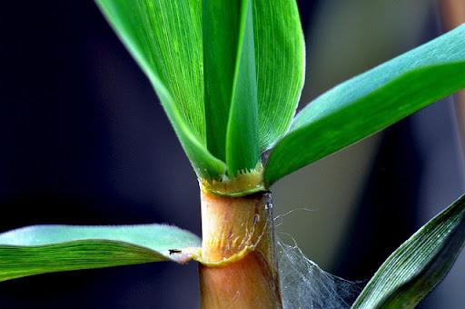 Bambus Spross