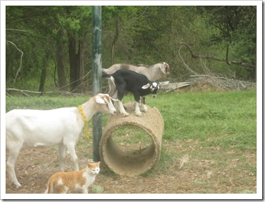 goats 018