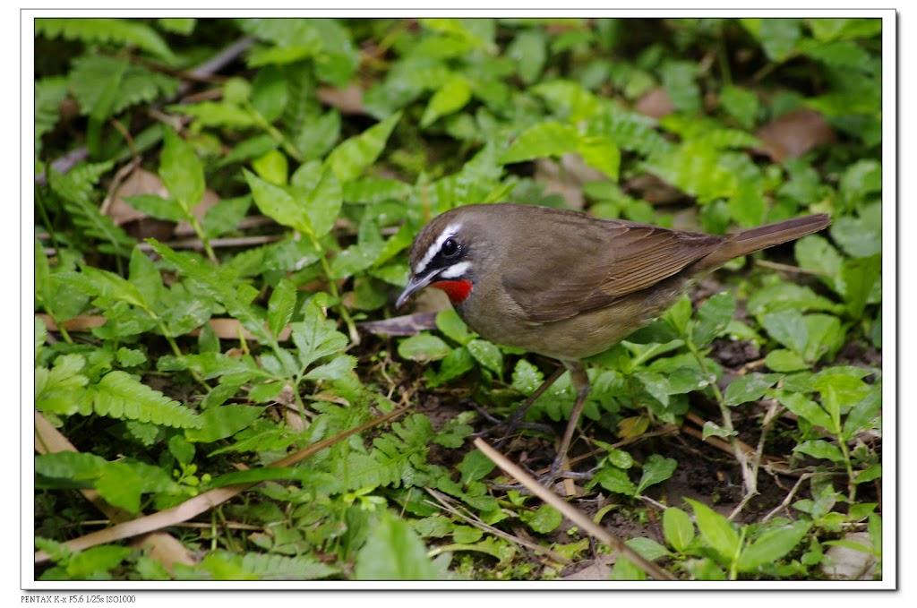 2010-05-23-植物園紅喉歌鴝&美人蕉