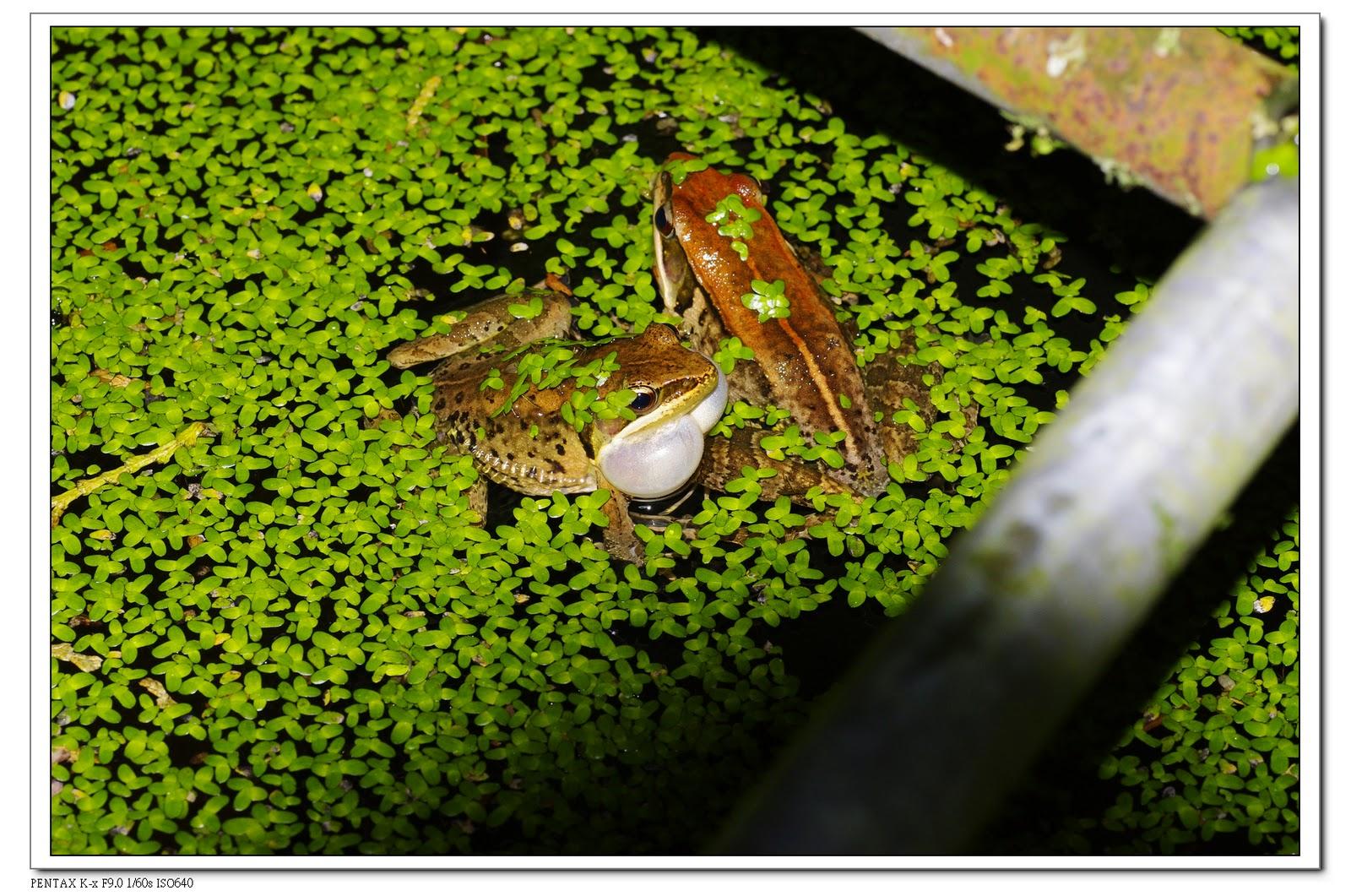 只有一種蛙