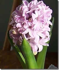 HyacinthPinkL