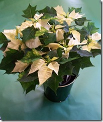 Poinsettia2009whiteL