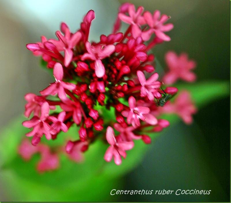Rød centranthus