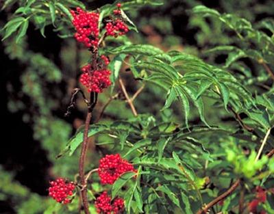 saúco rojo