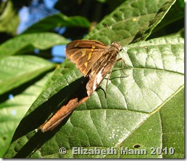 White-striped Skipper