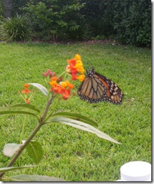 monarch drinking nectar