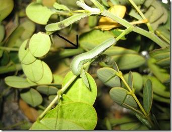 sulphur with arrow