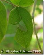 skipper curled leaf for book