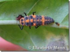 ladybug larvae for book
