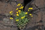 04-05 tařice skalní