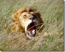 Lion_in Gir