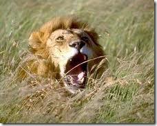 Lion_in Gir