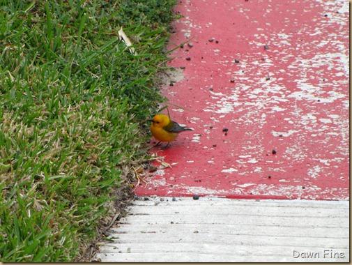 fallout birds padre island_047