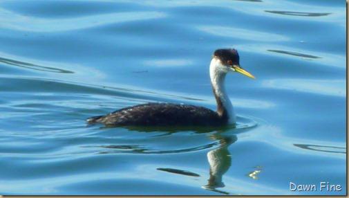 tomales bay birding_012