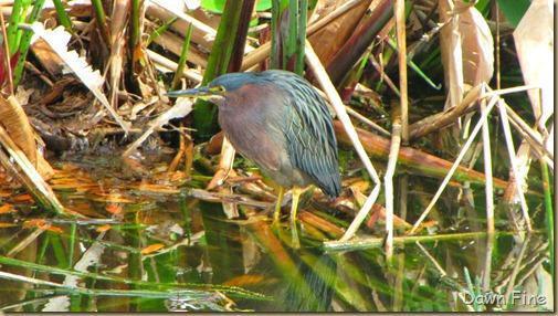 Green Heron (7)